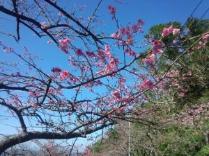 緋寒桜 (ひかんざくら) (1)