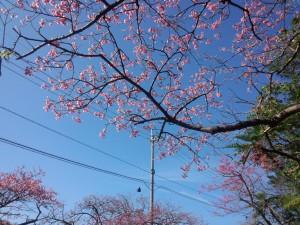 緋寒桜 (ひかんざくら) (2)