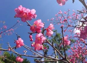 緋寒桜 (ひかんざくら)